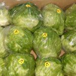 خس / lettuce