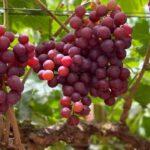 عنــب / Grape