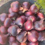 بصـــل / Onion