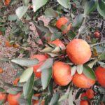 يوسفى / Tangerine